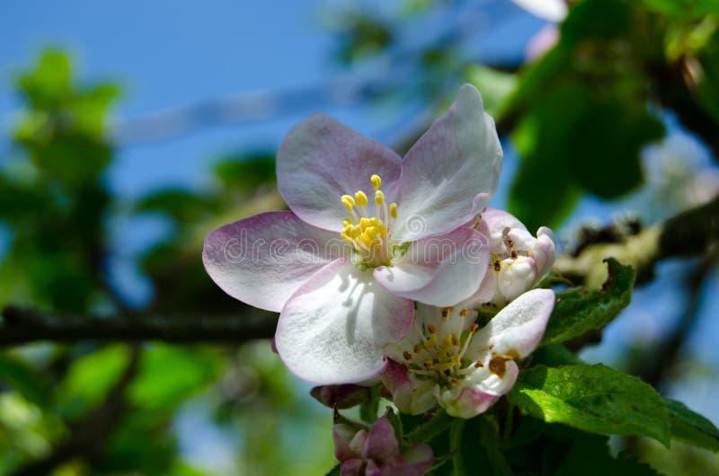 Apple blomningTree royaltyfria bilder