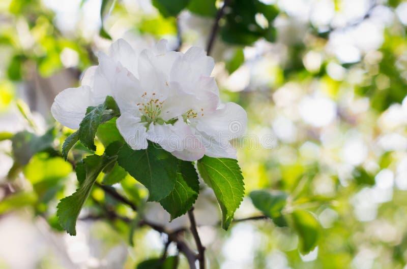 Apple blomstrar över suddig naturbakgrund arkivfoton