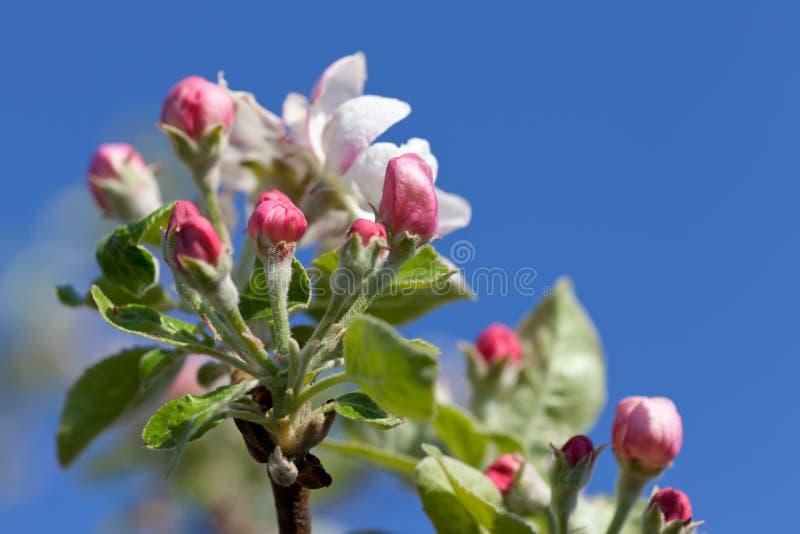 Apple blomstrar i vår arkivbilder
