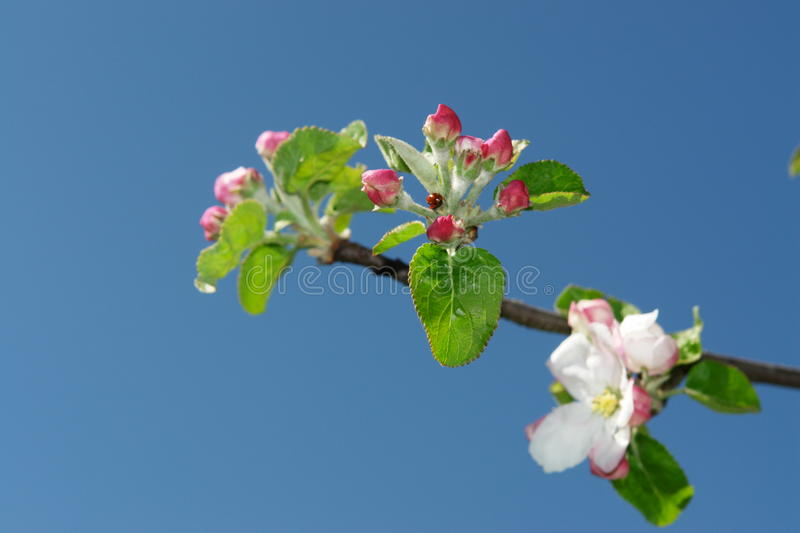 Download Apple blossom stock image. Image of growth, gardening - 18709501
