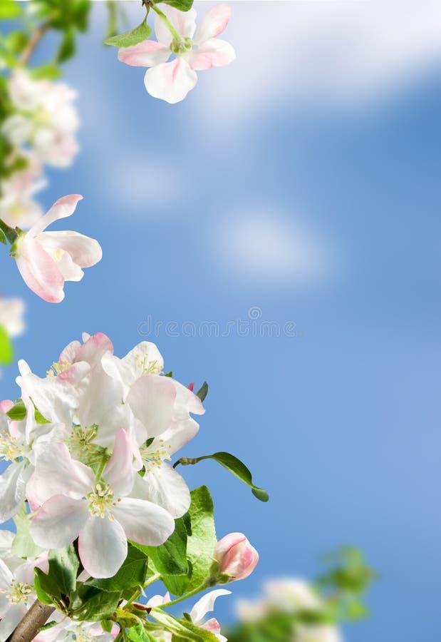 Free Apple Blossom Stock Image - 19650481