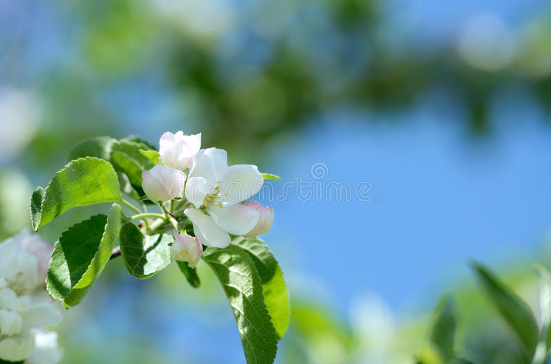 Download Apple blossom. stock photo. Image of shallow, color, macro - 19656412