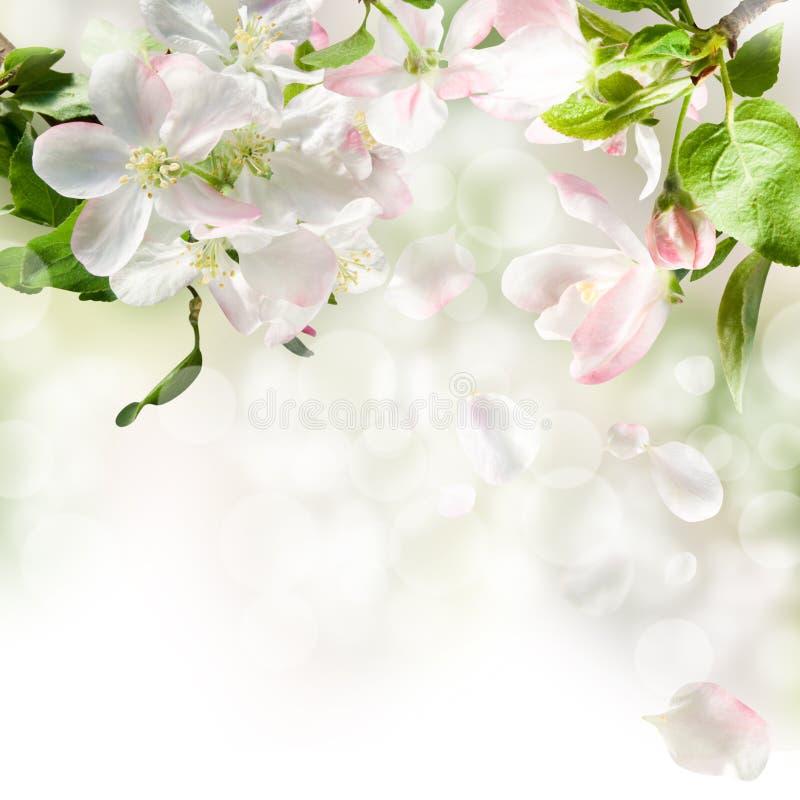 Free Apple Blossom Stock Image - 19776491