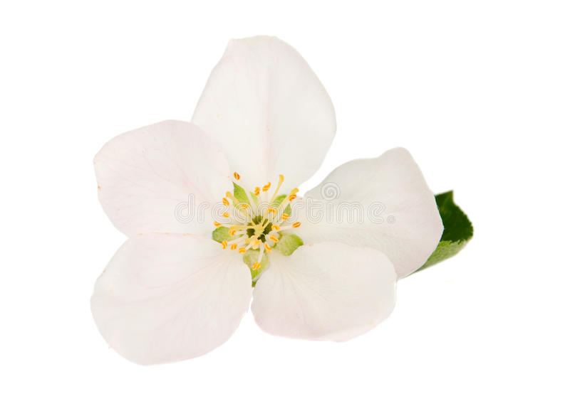 Download Apple blossom stock photo. Image of flower, pistil, beauty - 25404450