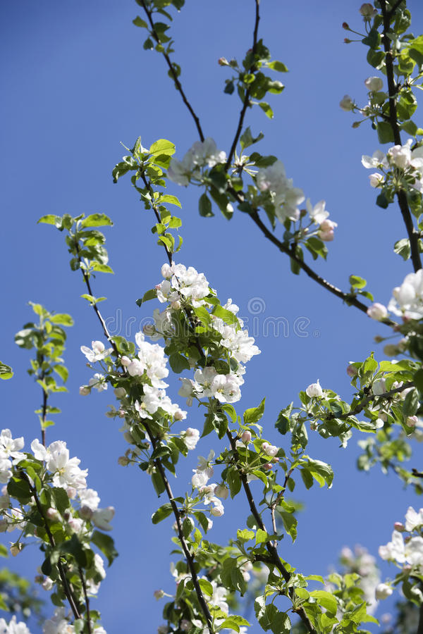 Download Apple Blossom stock image. Image of apple, growth, tree - 27178151