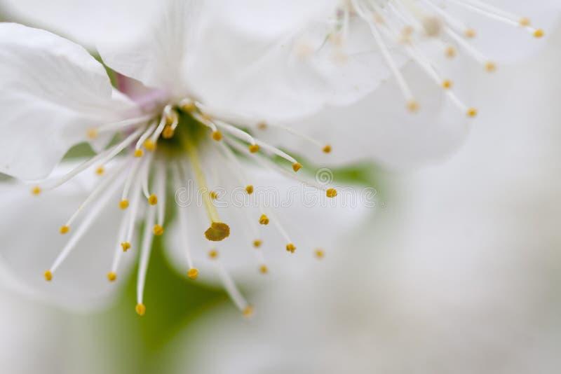 Download Apple blossom stock image. Image of petal, blue, green - 27407009