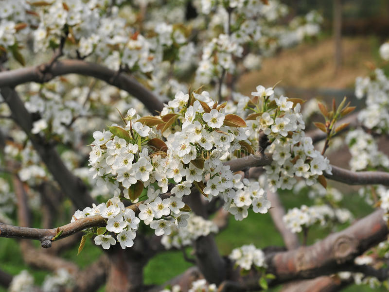 Download Apple blossom stock photo. Image of blossom, backgrounds - 28099806