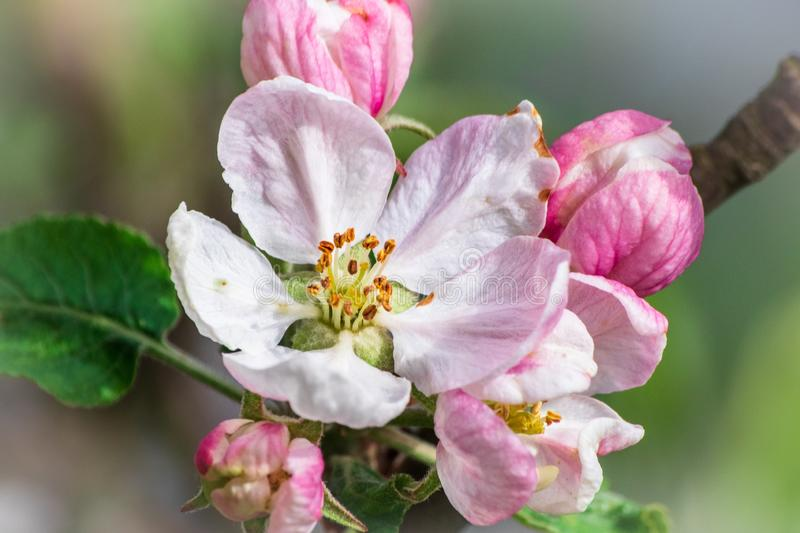 Apple blossom on apple tree. Close-up stock image