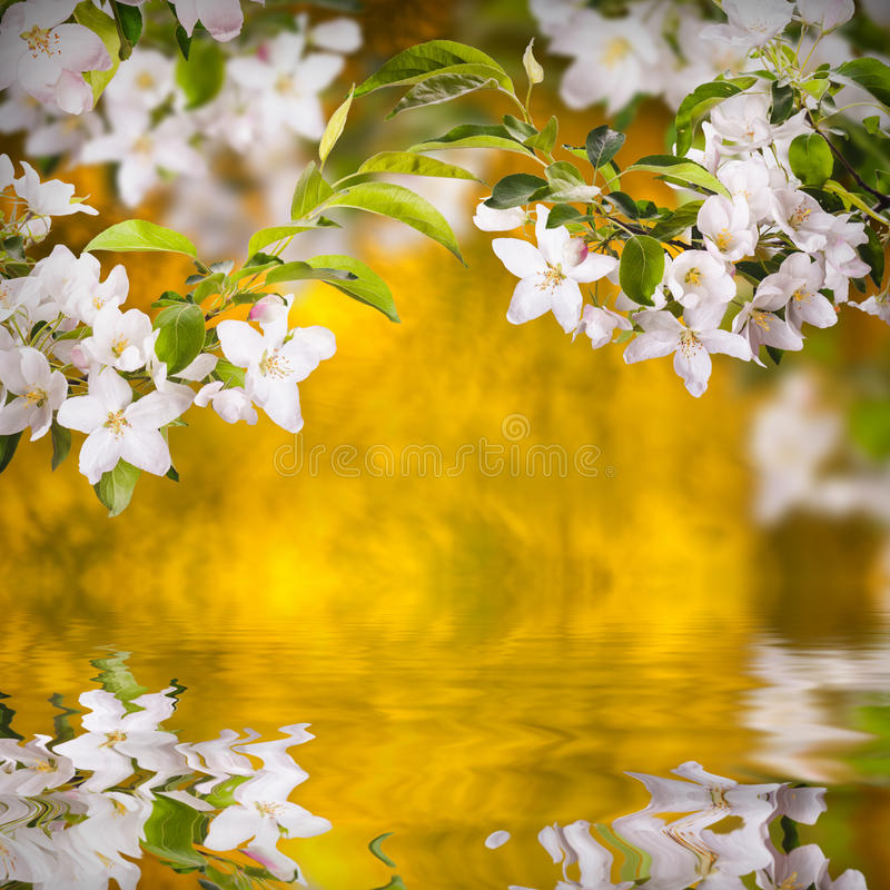 Apple blossom background stock photography