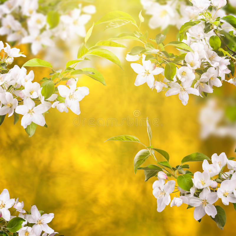 Apple blossom background_1 stock photography