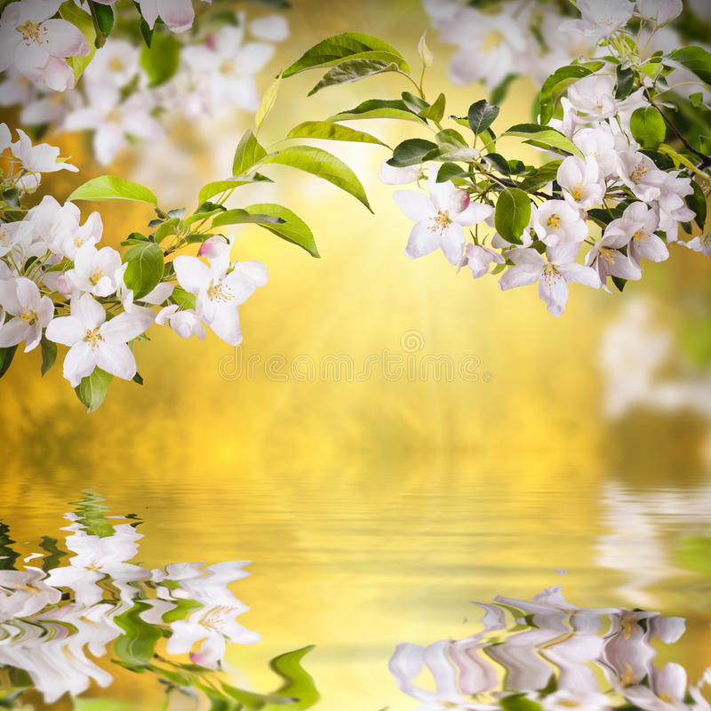 Apple blossom background_1 royalty free stock image