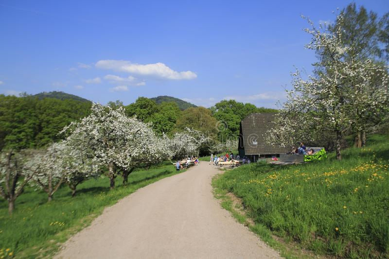 Apple blossom, blossom in the public fruit estate Baden-Baden Lichtental, royalty free stock photography