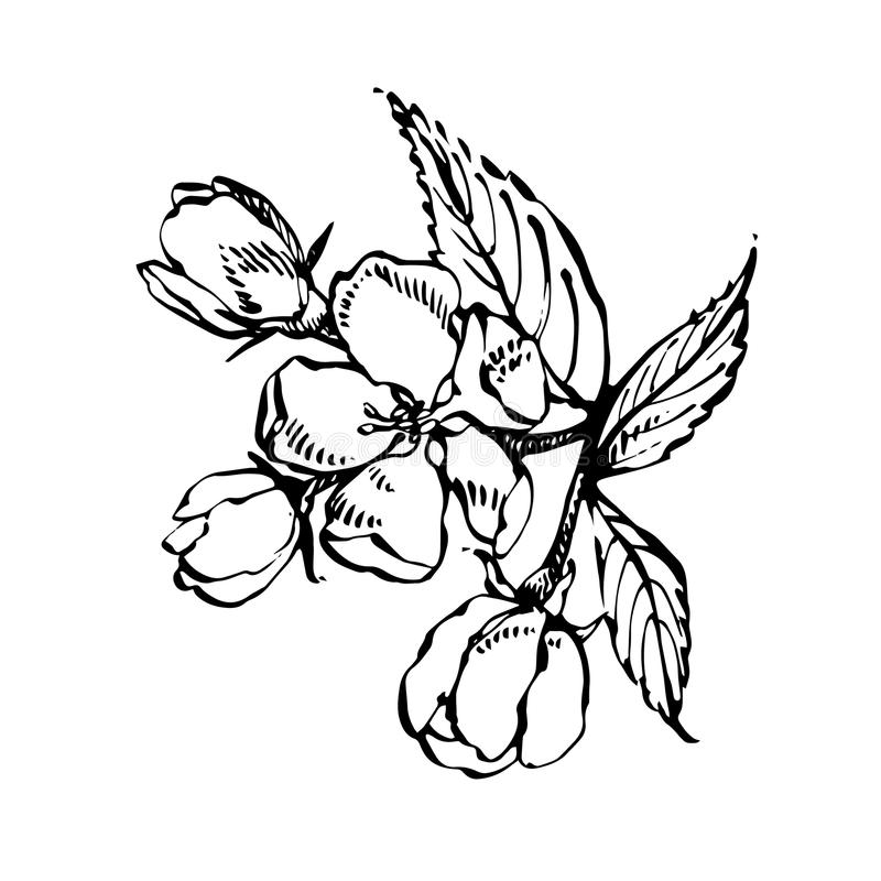 Apple blossom branch isolated on white. Vintage botanical hand drawn illustration. Spring flowers of apple tree. Apple blossom branch isolated on white. Vintage stock illustration