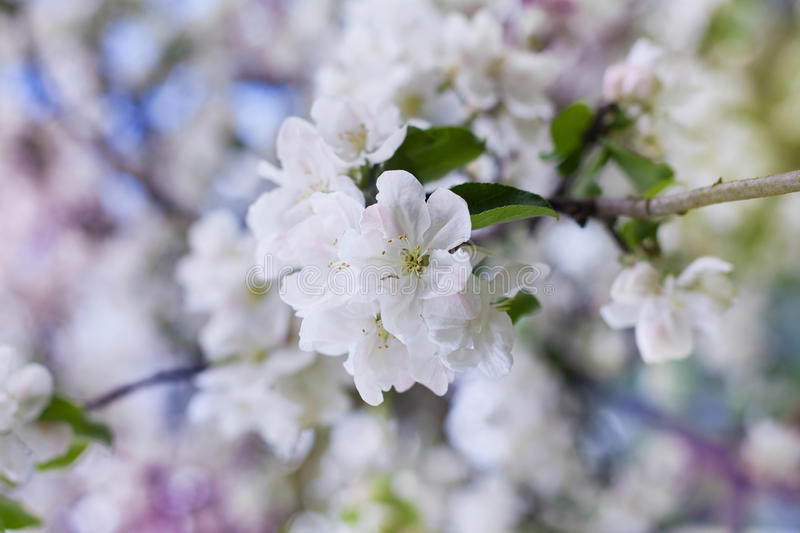 Apple blossom branch with white flowers against beautiful bokeh background, lovely landscape of nature. Selective focus royalty free stock image
