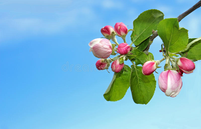 Apple blossom buds in front of blue sky stock photography