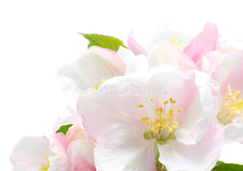 Apple Blossom closeup. Studio isolated stock image