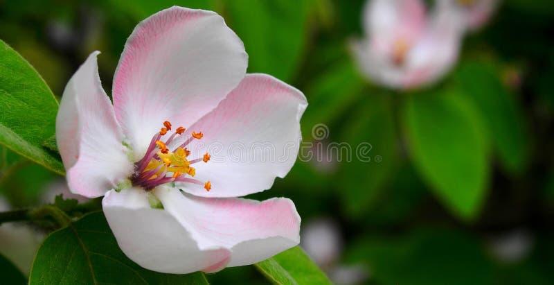Apple Blossom Closeup Free Public Domain Cc0 Image