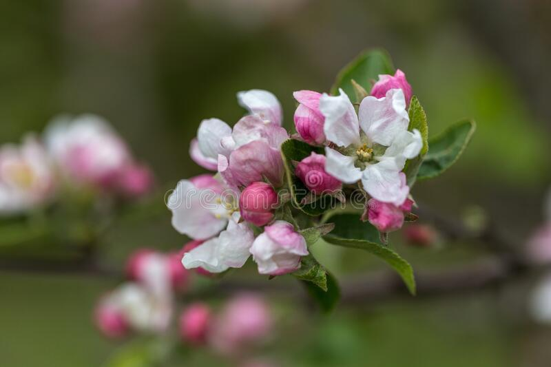 Apple Blossom closeup in garden. Beautiful spring background. Apple Blossom closeup in spring garden royalty free stock images