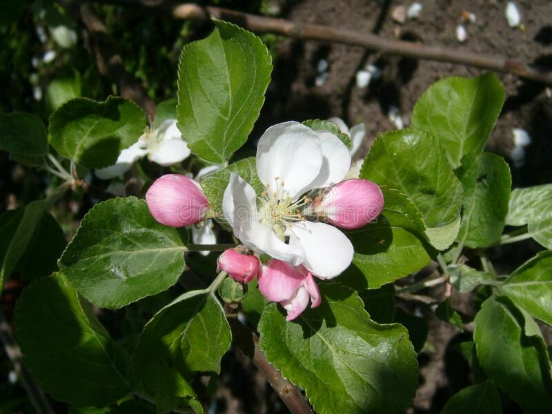 Apple blossom. Closeup of tender white petals and yellow stamens. Spring flowering of fruit trees. Sakura in the garden.  stock photos