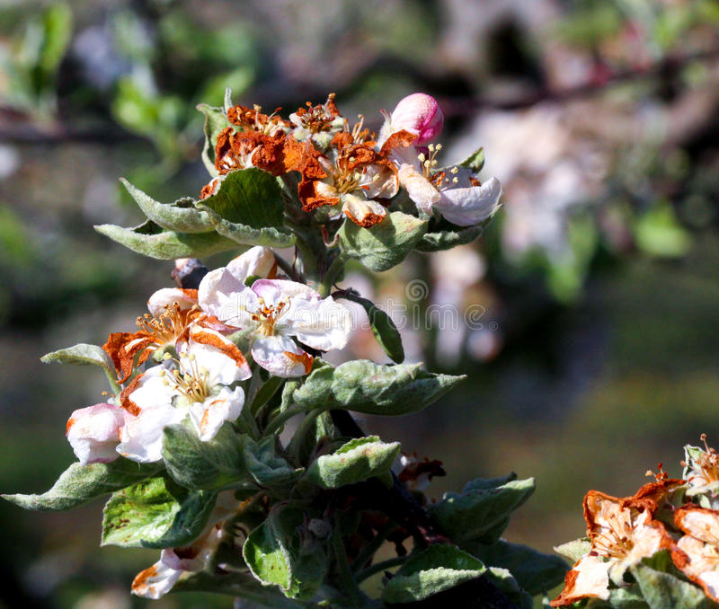 Apple blossom damaged by morning frost in region of prespa,macedonia. Iamge of a royalty free stock photo