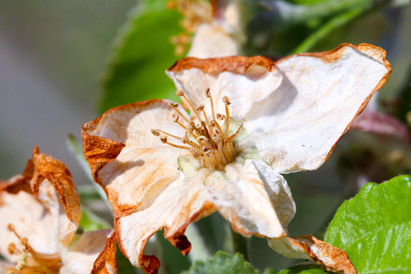Apple blossom damaged by morning frost in region of prespa,macedonia. Iamge of a royalty free stock photography