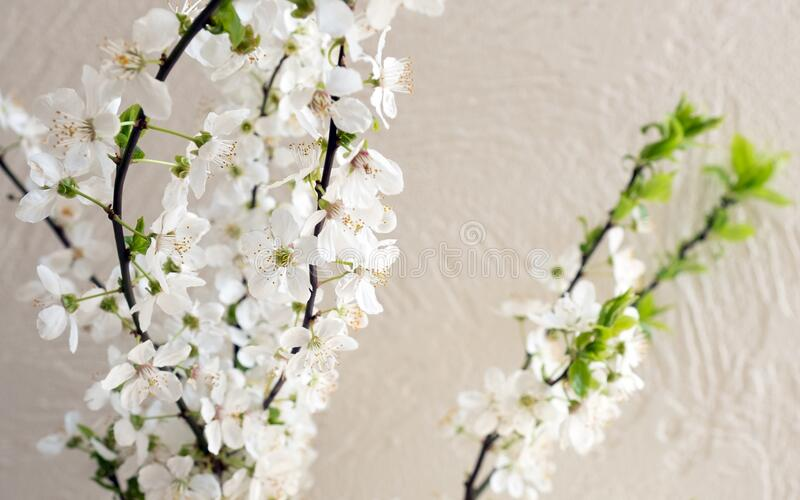 Apple blossom flower spring blooming tree white home. Blooming branches of apple tree at home. White flowers blossoms in spring royalty free stock images