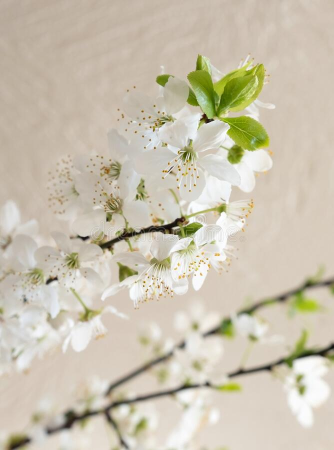 Apple blossom flower spring blooming tree white home. Blooming branches of apple tree at home. White flowers blossoms in spring stock images
