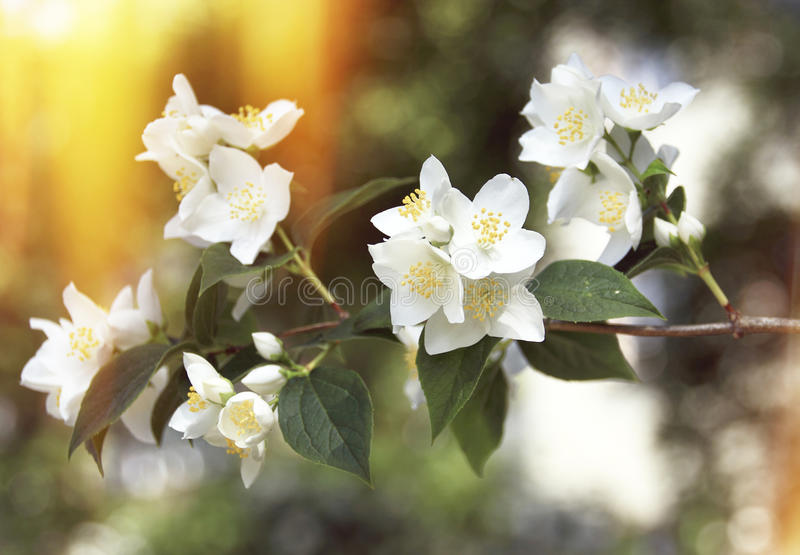Apple Blossom Flowers. Branch on an apple blossom tree, full of white flowers. With yellow golden backdrop royalty free stock photography