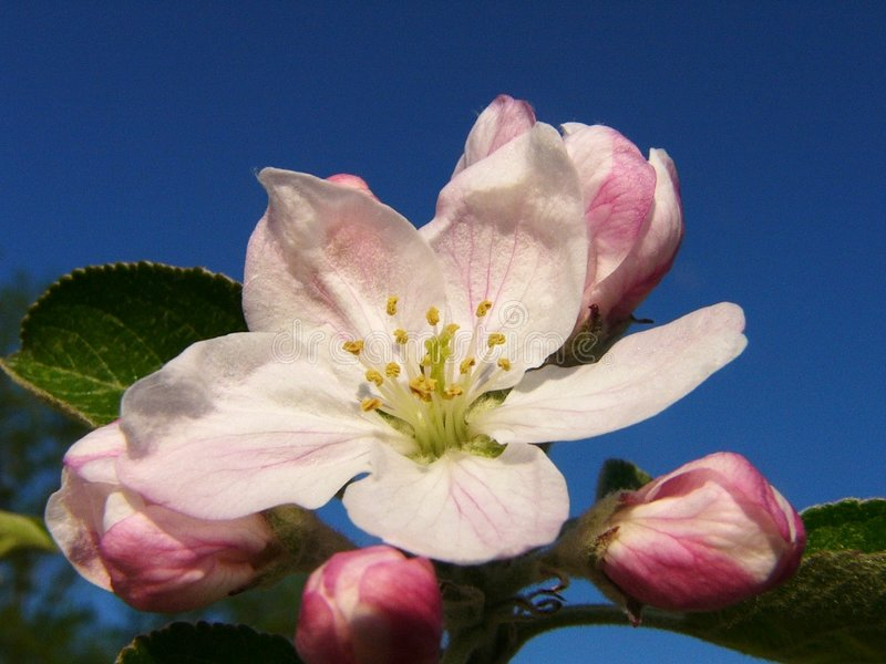 Download Apple Blossom Full stock photo. Image of blue, pink, flower - 150430