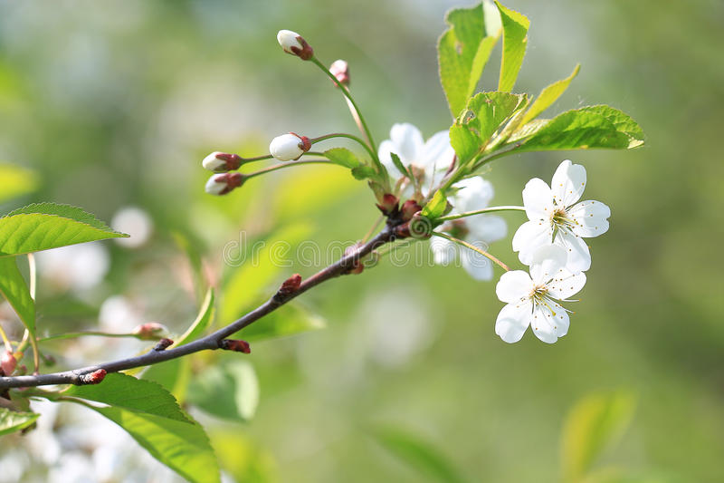 apple blossom in garden stock images