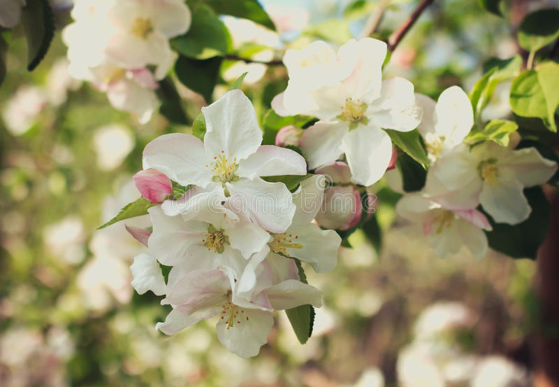 Apple blossom inflorescence royalty free stock images