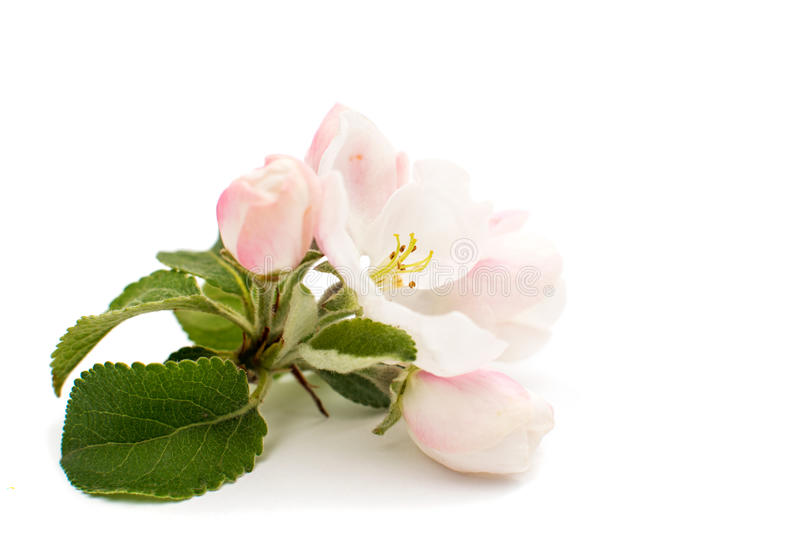 Apple blossom isolated stock photo