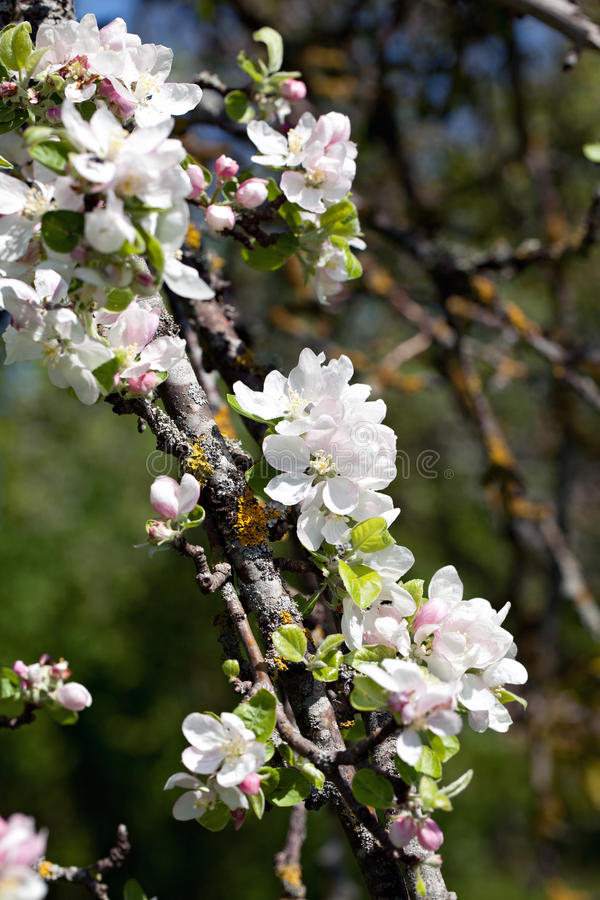 Download Apple blossom. stock photo. Image of petals, bloom, tree - 33061308