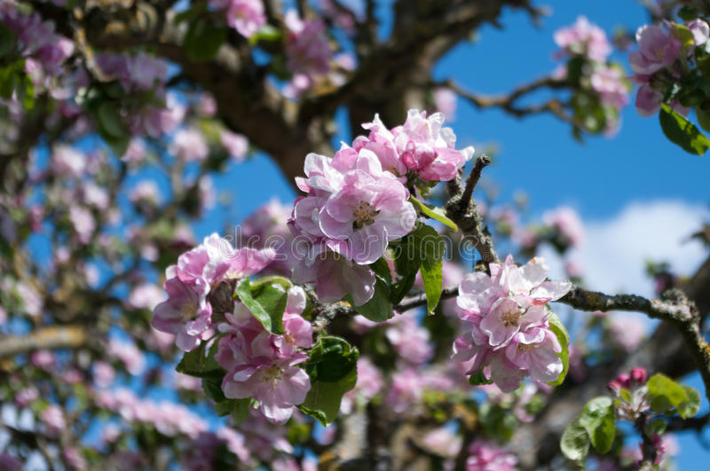 Apple blossom. Pink apple blossom growing on the apple tree. Scientific name Malus pumila stock photo