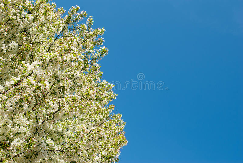 Download Apple Blossom Sky Stock Photography - Image: 24376632