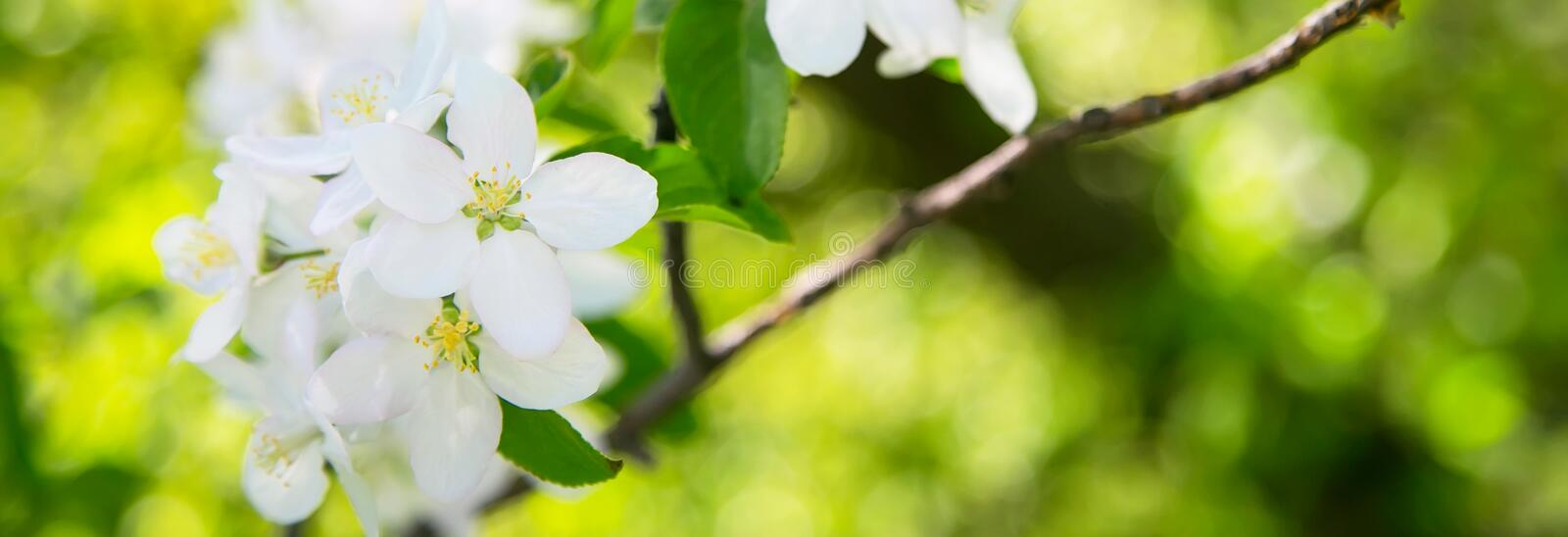Apple blossom spring flowers. Apple blossom white flowers and green leafs spring banner background stock photos