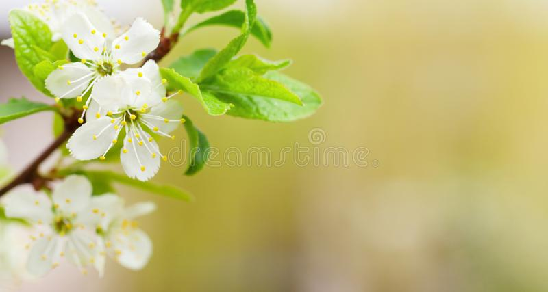 Apple blossom spring tree. With copy space. Wide summer background stock image