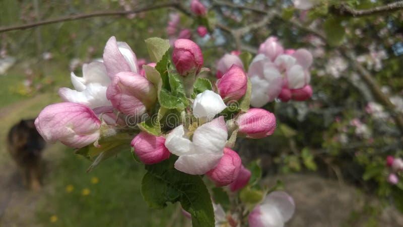 Apple blossom in springtime stock image