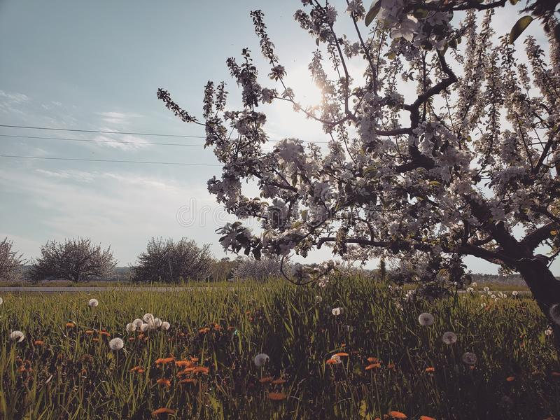The Apple Blossom royalty free stock photography