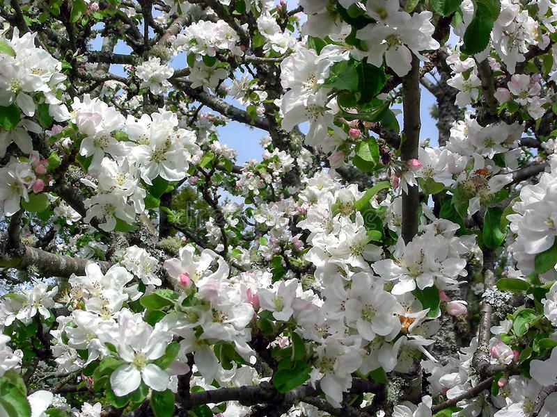 Apple Blossom Time Again. An apple tree bursts with spring blossoms on a sunny day in Humboldt County, California stock photo
