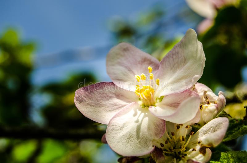 Apple blossom tree. In the garden with sunlight and blue sky background royalty free stock photography