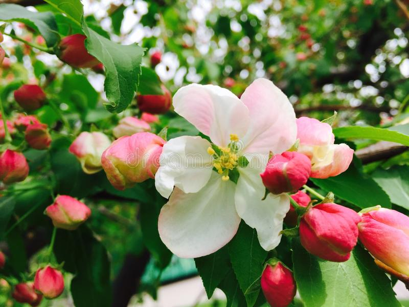Apple blossom. On tree branch royalty free stock images