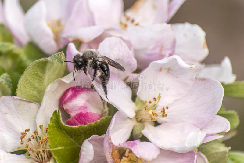 Apple blossom tree bumble honey bee flower collecting pollen closeup makro. Apple blossom tree bumble honey bee on flower collecting pollen closeup makro royalty free stock image