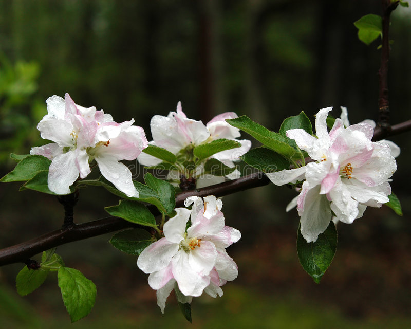 Download Apple Blossoms stock photo. Image of flower, flowers, trees - 109310