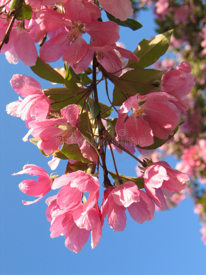 Download Apple Blossoms stock image. Image of background, colour - 1229125