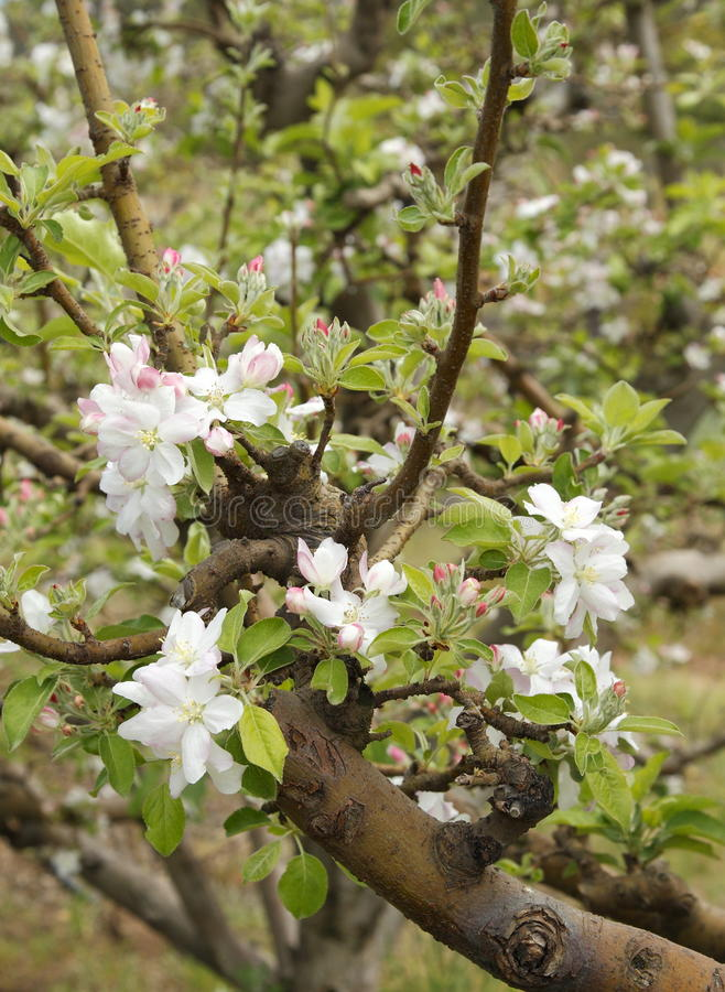 Free Apple Blossoms Royalty Free Stock Photo - 16788365