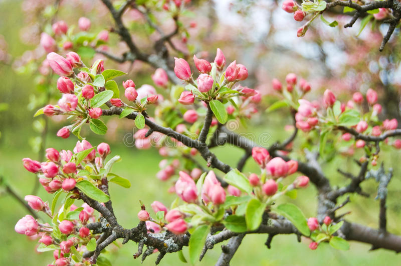 Download Apple Blossoms Stock Photo - Image: 28895760