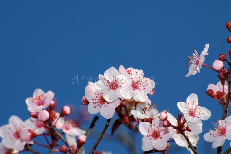 Apple Blossoms Against Deep Blue Sky stock photos