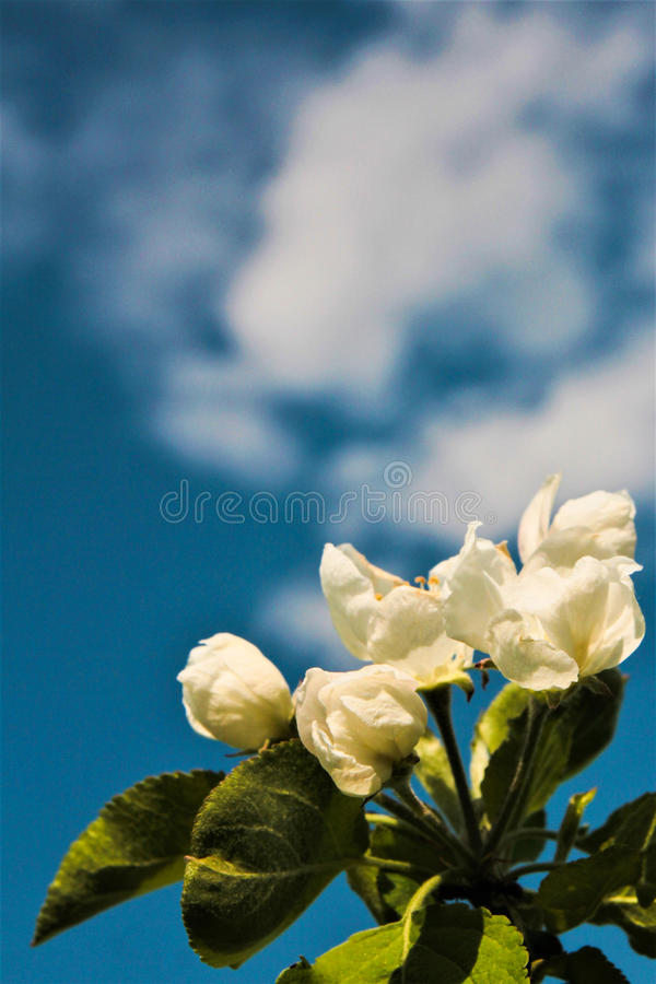 Apple blossoms against the sky. With a cloud stock image