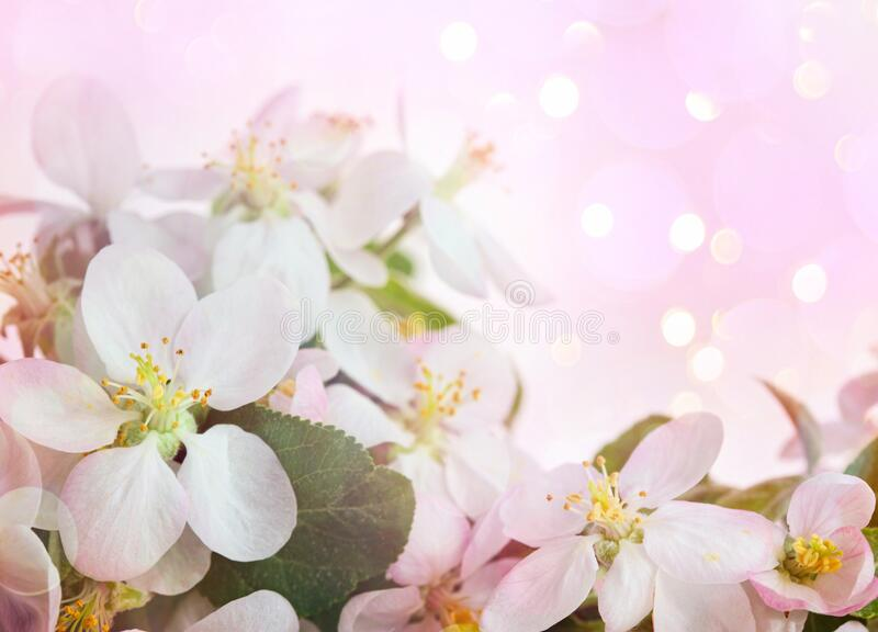 Apple blossoms against soft pink background royalty free stock image